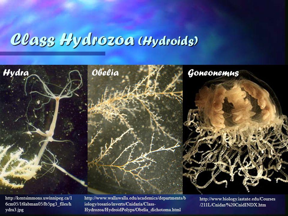 http://www.wallawalla.edu/academics/departments/b iology/rosario/inverts/Cnidaria/Class- Hydrozoa/HydroidPolyps/Obelia_dichotoma.html http://kentsimmons.uwinnipeg.ca/1 6cm05/16labman05/lb5pg3_files/h ydra3.jpg Class Hydrozoa (Hydroids) HydraObelia http://www.biology.iastate.edu/Courses /211L/Cnidar/%20CnidINDX.htm Goneonemus