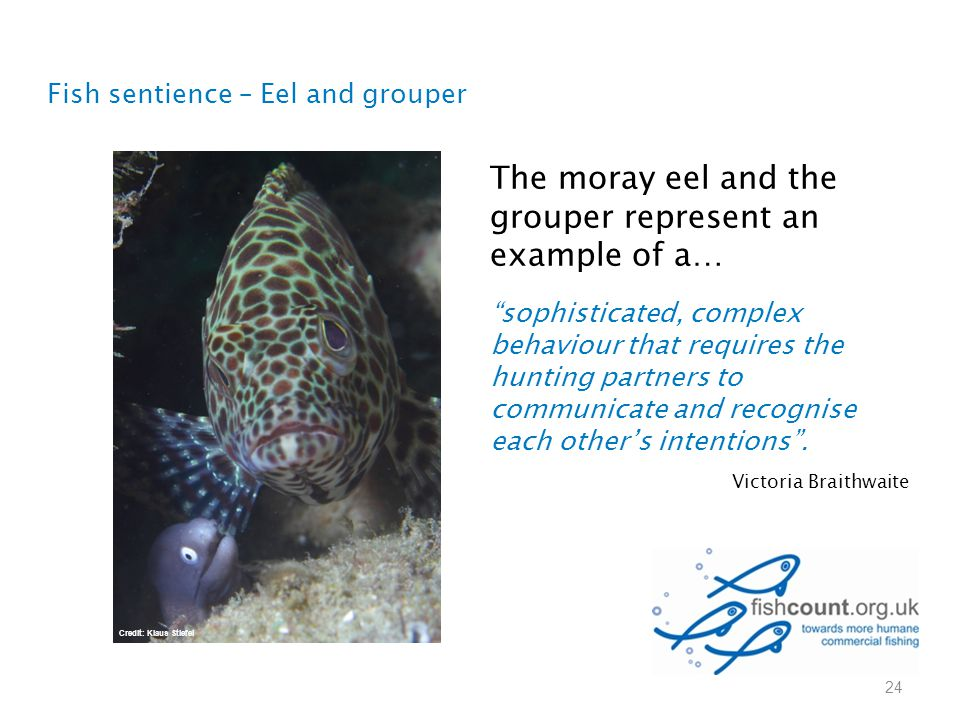 "Fish sentience – Eel and grouper 24 The moray eel and the grouper represent an example of a… ""sophisticated, complex behaviour that requires the hunti"