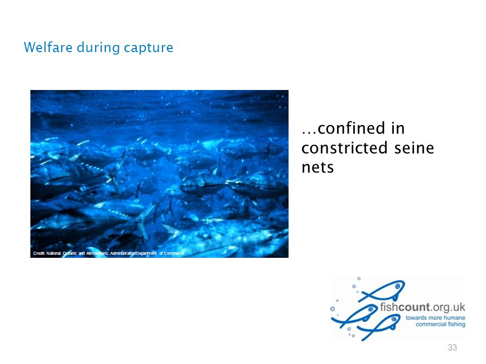 …confined in constricted seine nets Welfare during capture 33 Credit: National Oceanic and Atmospheric Administration/Department of Commerce.