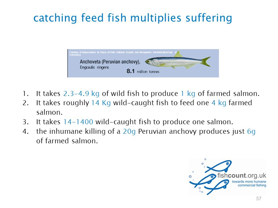 catching feed fish multiplies suffering 1.It takes 2.3-4.9 kg of wild fish to produce 1 kg of farmed salmon. 2.It takes roughly 14 Kg wild-caught fish