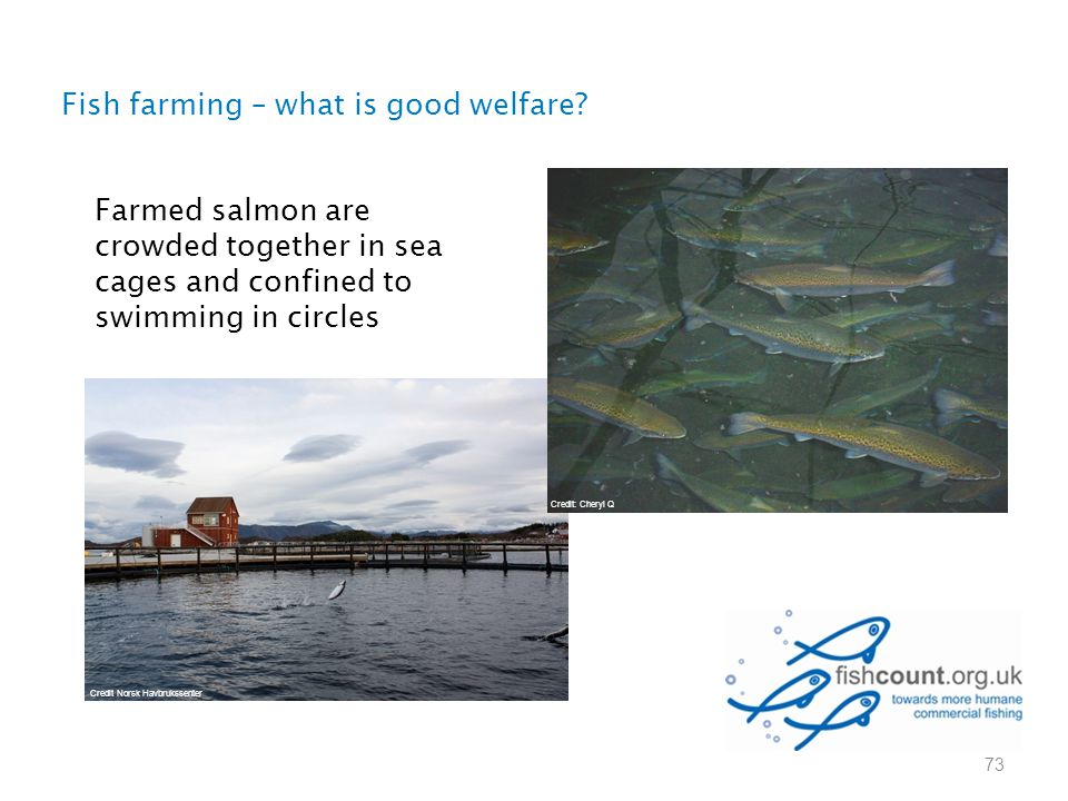 73 Fish farming – what is good welfare? Farmed salmon are crowded together in sea cages and confined to swimming in circles Credit: Cheryl Q Credit No