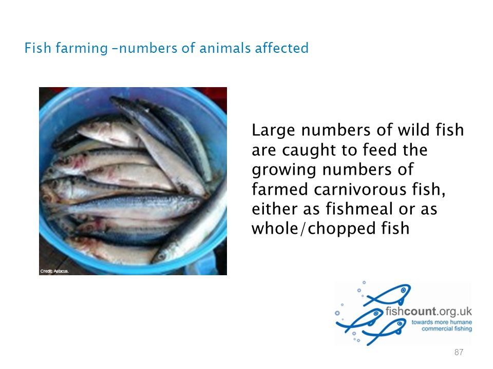 Fish farming –numbers of animals affected 87 Large numbers of wild fish are caught to feed the growing numbers of farmed carnivorous fish, either as f
