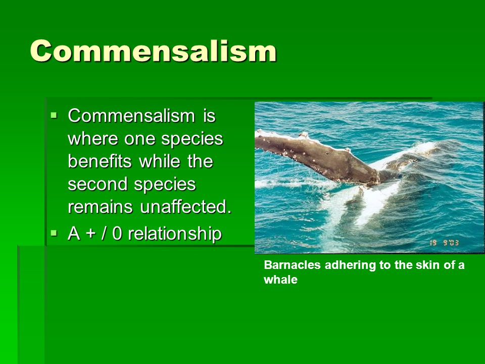 Commensalism  Commensalism is where one species benefits while the second species remains unaffected.
