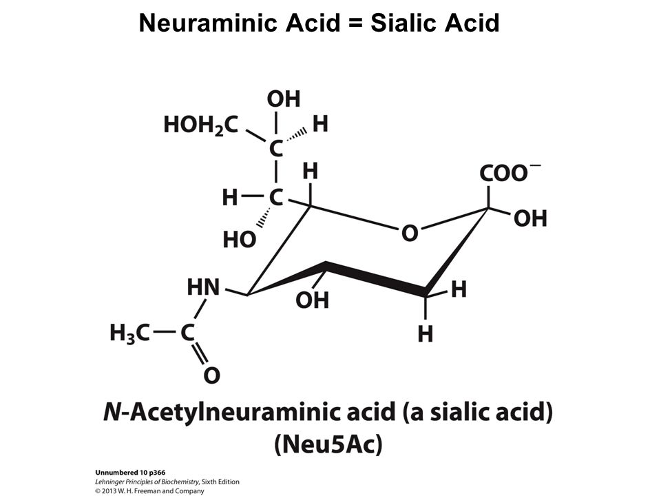 Neuraminic Acid = Sialic Acid