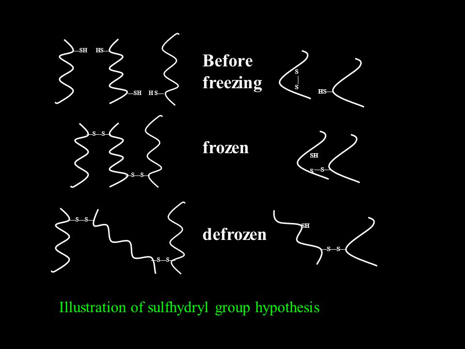 —SH HS— SSSS Before freezing frozen defrozen —SH H S— —S—S— HS— SH S —S— SH —S—S— Illustration of sulfhydryl group hypothesis