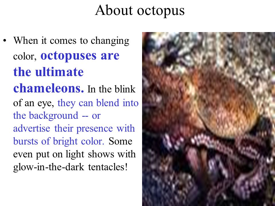 About octopus When it comes to changing color, octopuses are the ultimate chameleons.