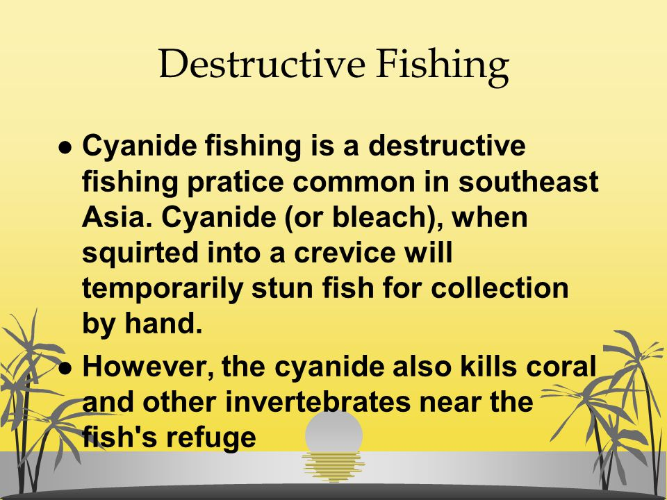 Destructive Fishing l Cyanide fishing is a destructive fishing pratice common in southeast Asia. Cyanide (or bleach), when squirted into a crevice wil
