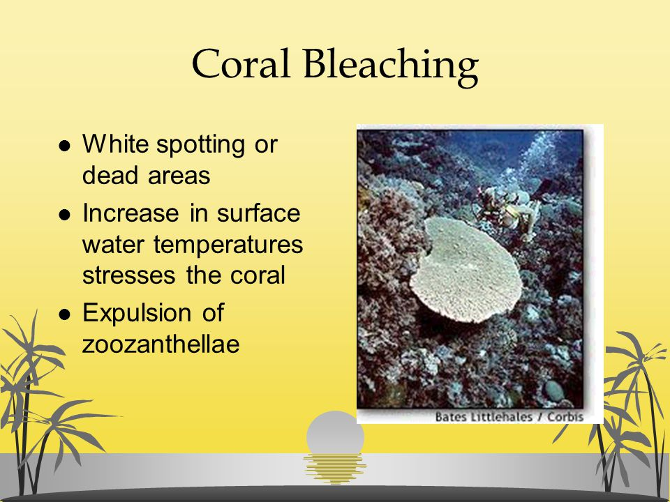 Coral Bleaching l White spotting or dead areas l Increase in surface water temperatures stresses the coral l Expulsion of zoozanthellae