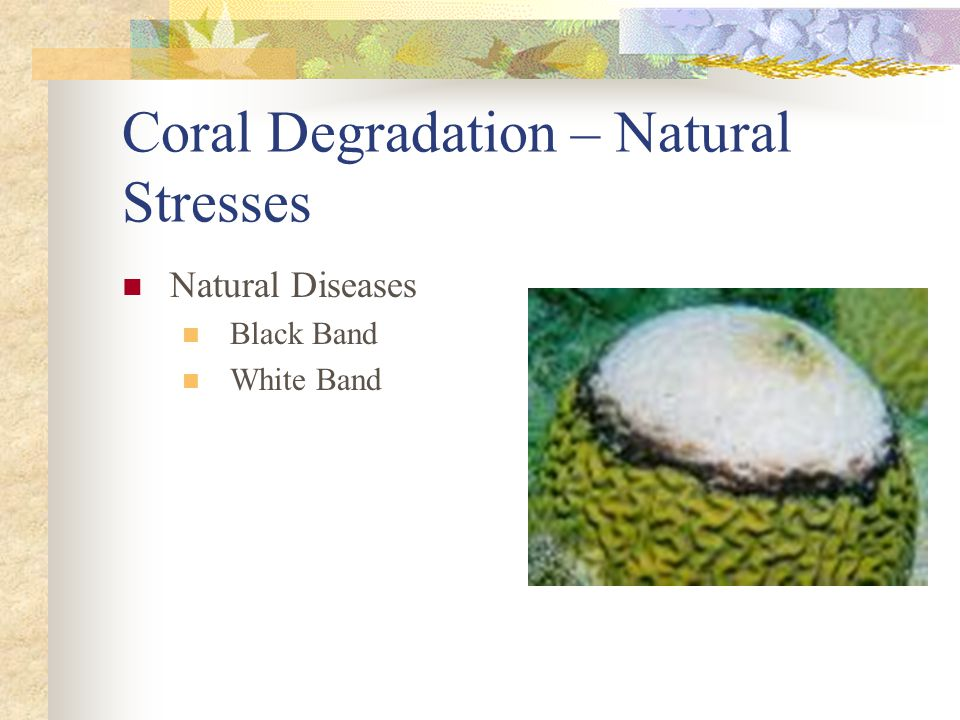 Coral Degradation – Natural Stresses Natural Diseases Black Band White Band