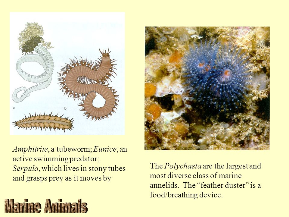 Amphitrite, a tubeworm; Eunice, an active swimming predator; Serpula, which lives in stony tubes and grasps prey as it moves by The Polychaeta are the
