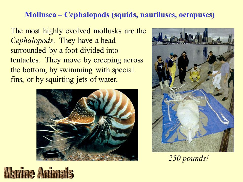 Mollusca – Cephalopods (squids, nautiluses, octopuses) The most highly evolved mollusks are the Cephalopods. They have a head surrounded by a foot div