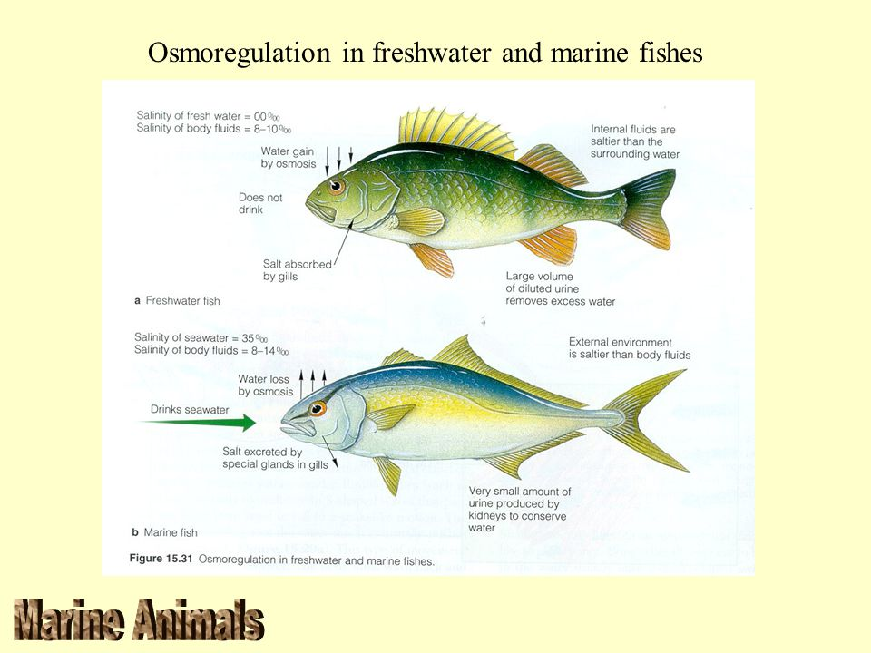 Osmoregulation in freshwater and marine fishes
