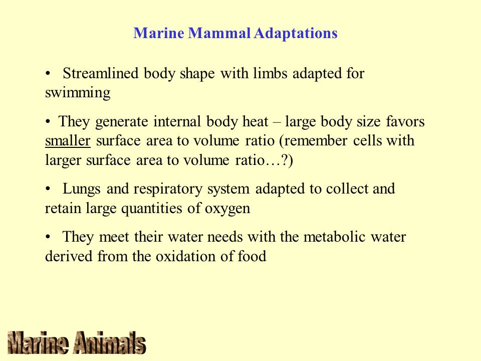 Marine Mammal Adaptations Streamlined body shape with limbs adapted for swimming They generate internal body heat – large body size favors smaller sur
