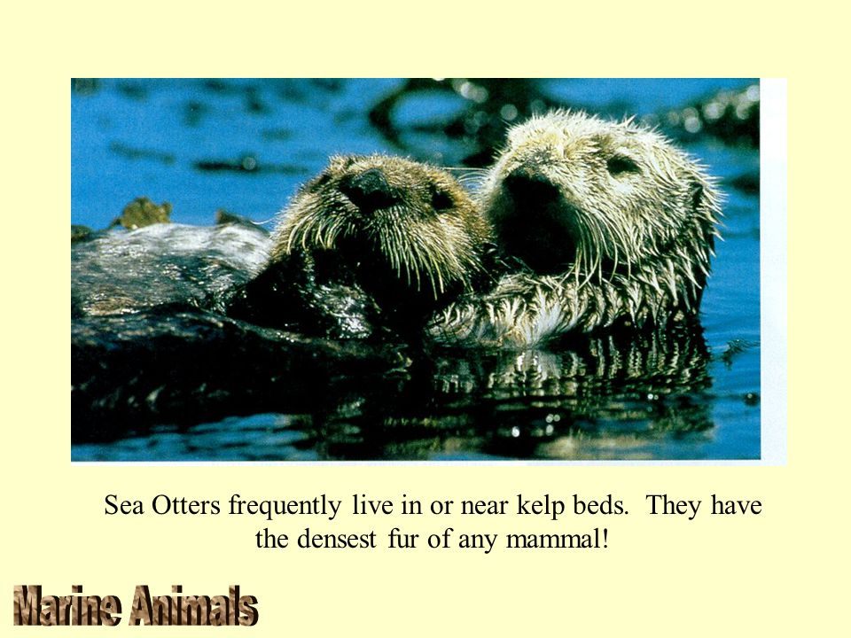 Sea Otters frequently live in or near kelp beds. They have the densest fur of any mammal!