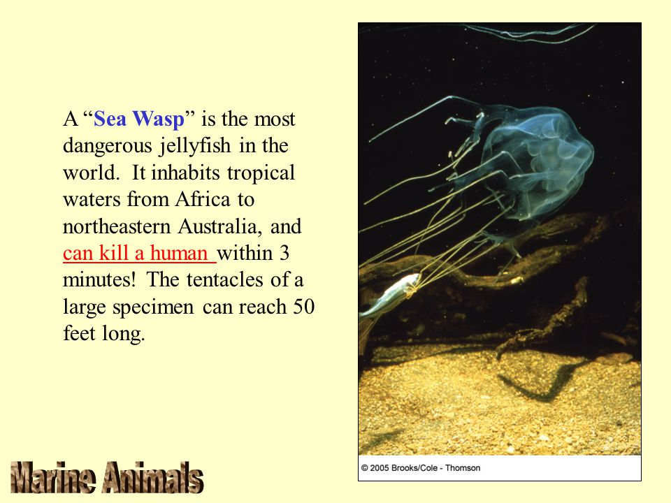 "A ""Sea Wasp"" is the most dangerous jellyfish in the world. It inhabits tropical waters from Africa to northeastern Australia, and can kill a human wit"