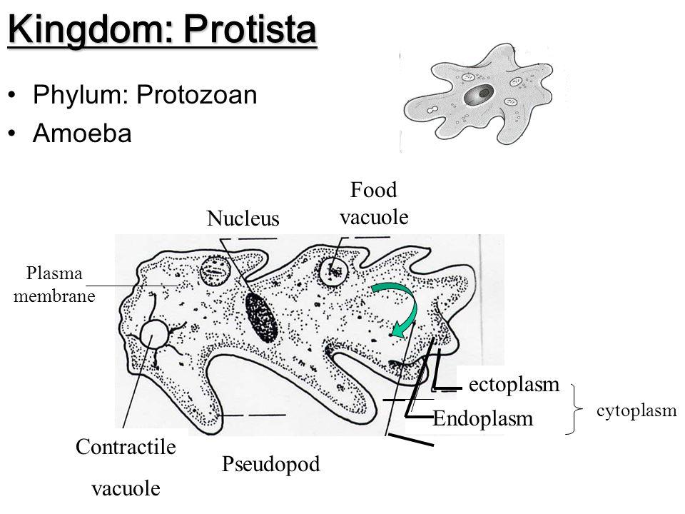 Kingdom: Protista Phylum: Amoeba