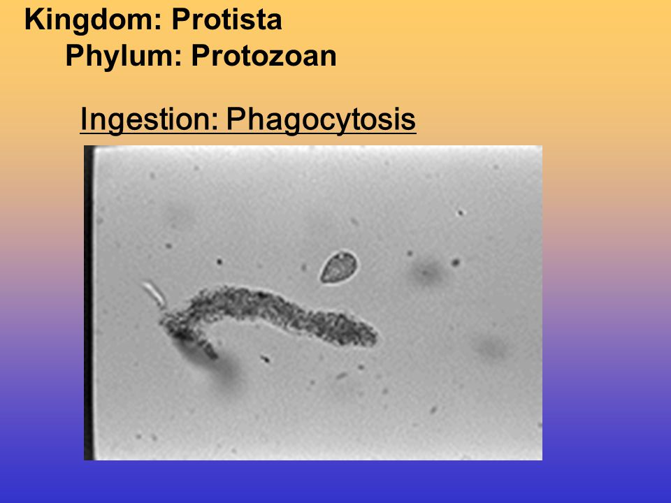 Phagocytosis: the taking in of solid materials using Pseudopods.
