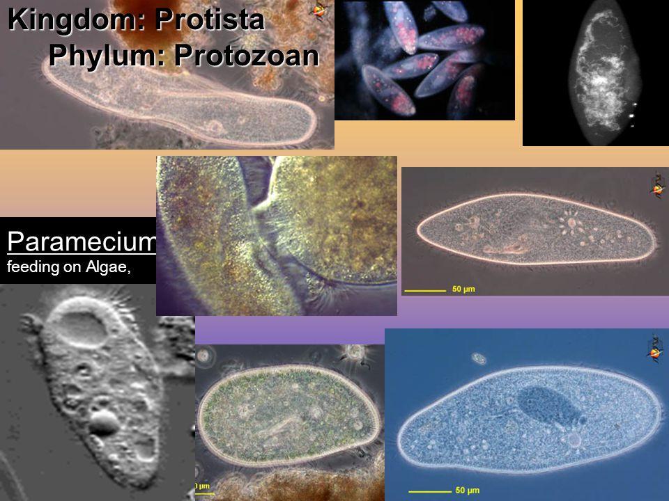 Kingdom: Protista Phylum: Protozoan THE PARAMECIUM