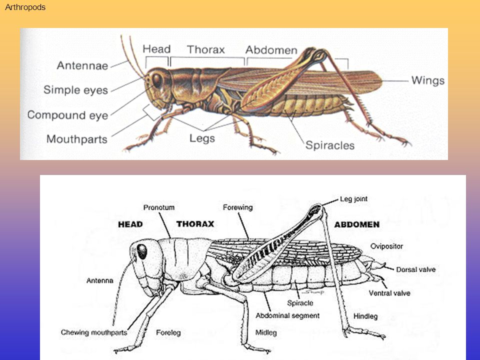 1.Kingdom: Animalia Phylum: Arthropoda * Tube within a tube body plan Inner tube: Digestive System Outer tube: Exoskeleton, muscles * One way Digestive System * Extracellular Digestion *Terrestrial- Lives on land * Jointed Appendages (legs) * Hard chitinous exoskeleton * Compound Eyes Herbivore: eats plant matter * Uses salivary hydrolytic enzymes * Dimorphic