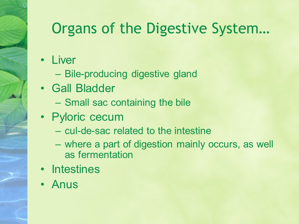 Organs of the Digestive System… Liver –Bile-producing digestive gland Gall Bladder –Small sac containing the bile Pyloric cecum –cul-de-sac related to