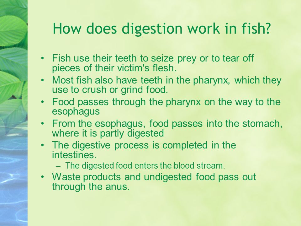 How does digestion work in fish? Fish use their teeth to seize prey or to tear off pieces of their victim's flesh. Most fish also have teeth in the ph