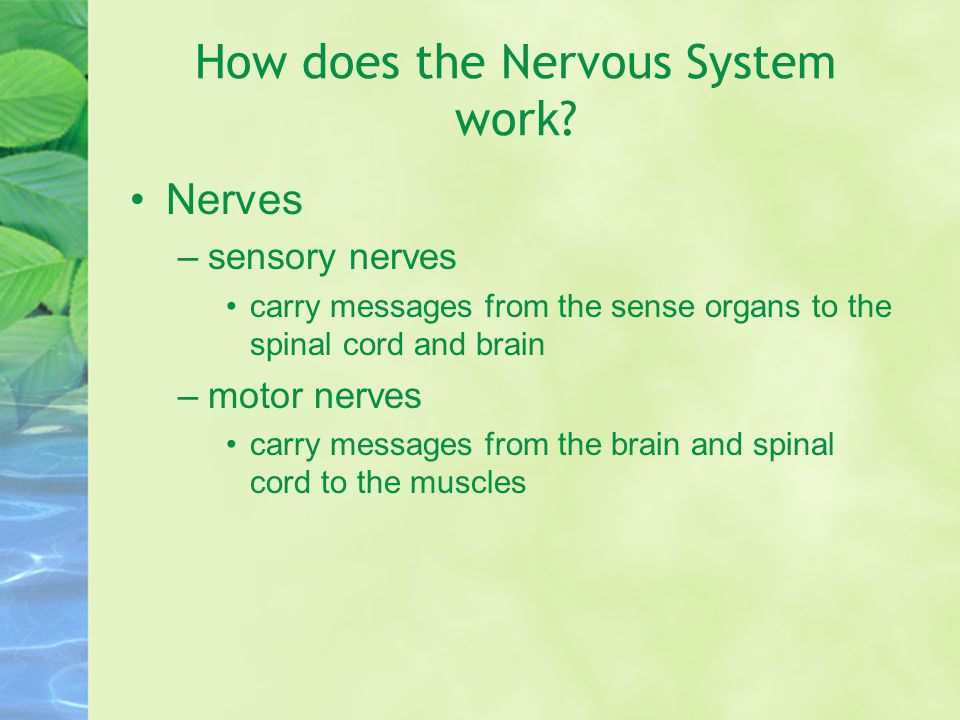 How does the Nervous System work? Nerves –sensory nerves carry messages from the sense organs to the spinal cord and brain –motor nerves carry message