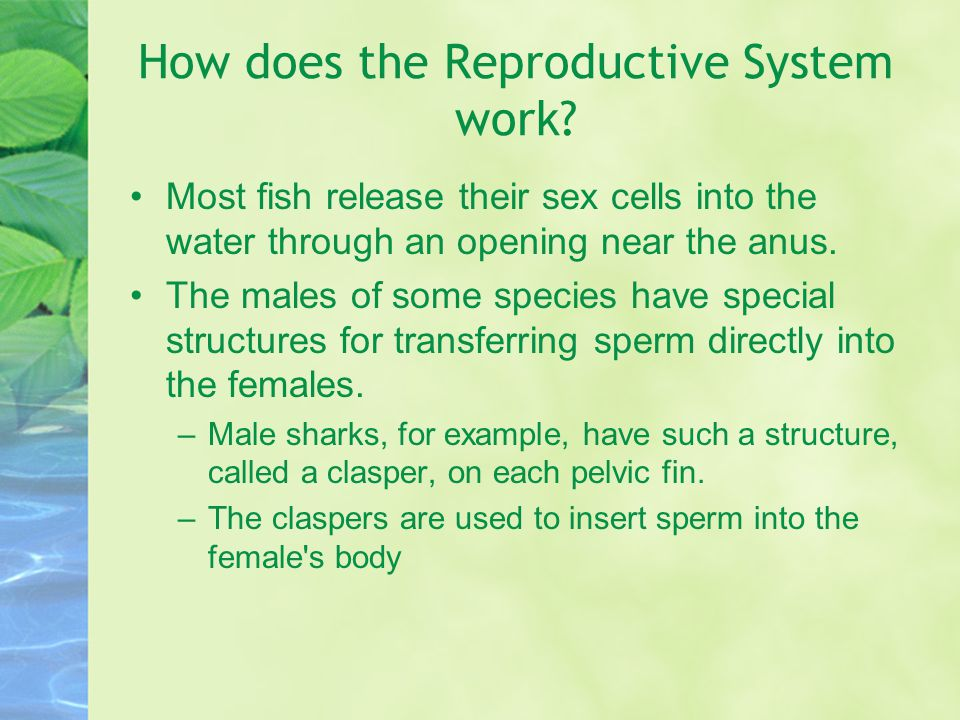 How does the Reproductive System work? Most fish release their sex cells into the water through an opening near the anus. The males of some species ha