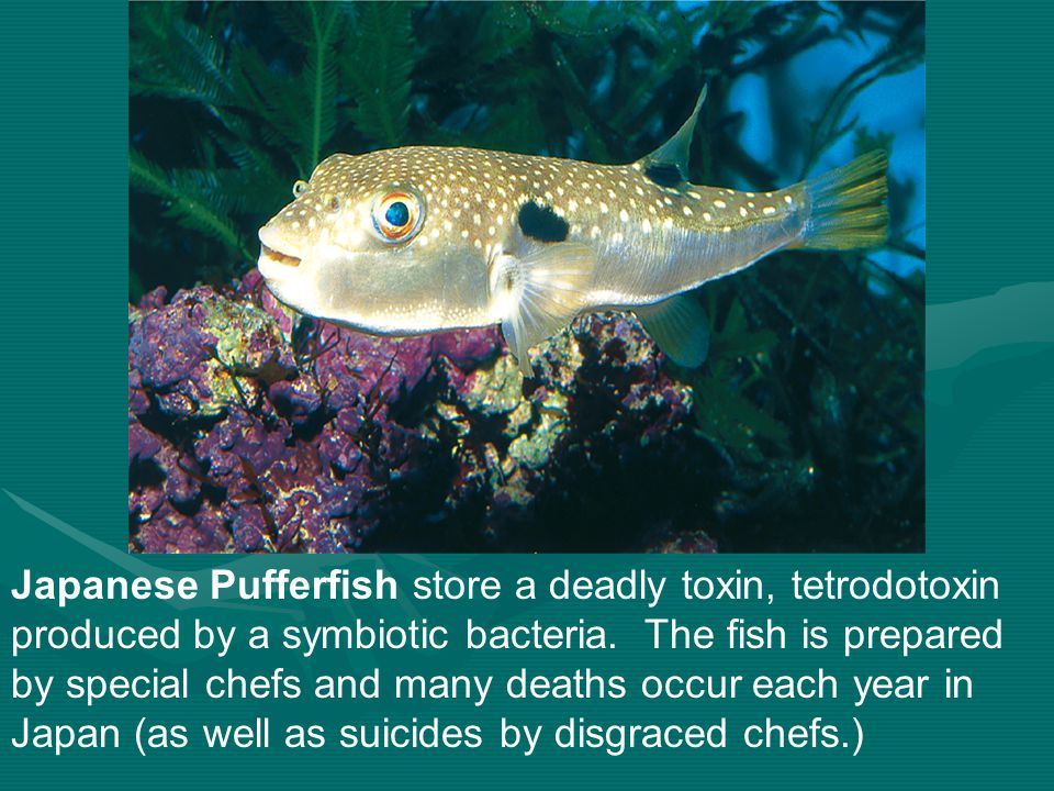 Japanese Pufferfish store a deadly toxin, tetrodotoxin produced by a symbiotic bacteria. The fish is prepared by special chefs and many deaths occur e