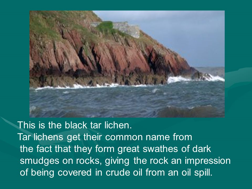 This is the black tar lichen. Tar lichens get their common name from the fact that they form great swathes of dark smudges on rocks, giving the rock a