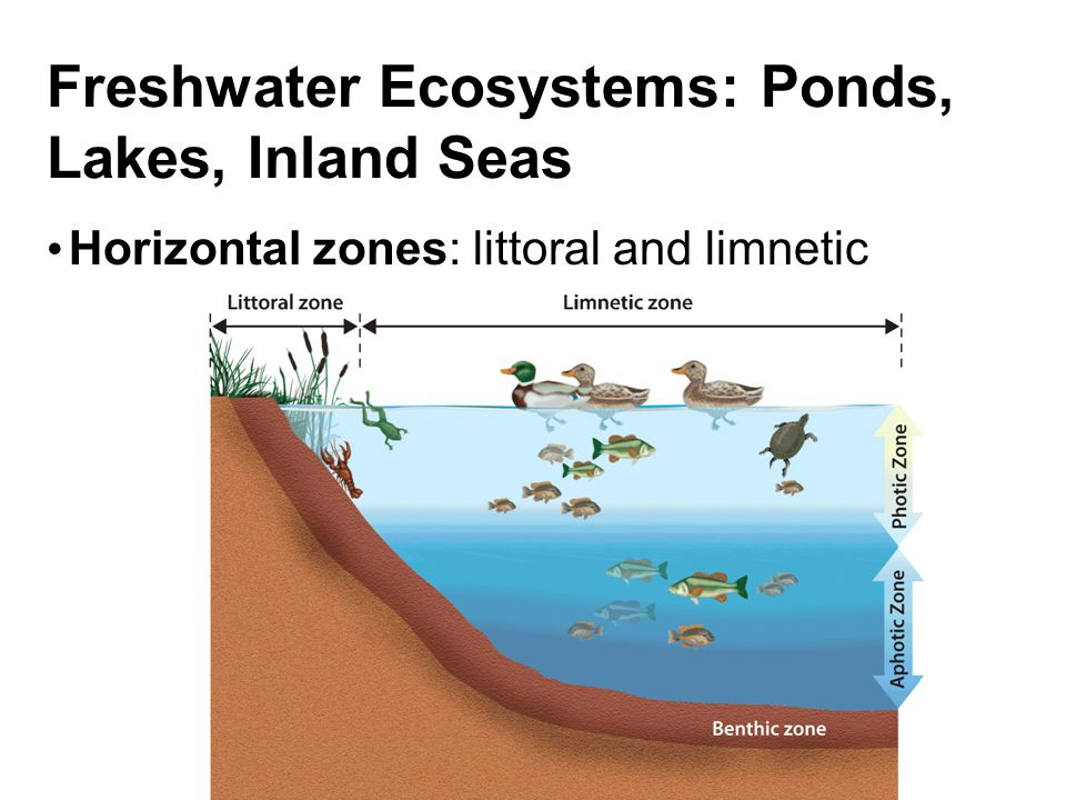 Freshwater Ecosystems: Ponds, Lakes, Inland Seas Horizontal zones: littoral and limnetic