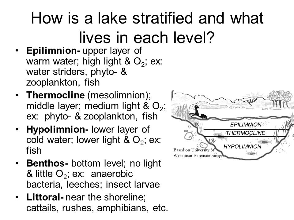 How is a lake stratified and what lives in each level? Epilimnion- upper layer of warm water; high light & O 2 ; ex: water striders, phyto- & zooplank