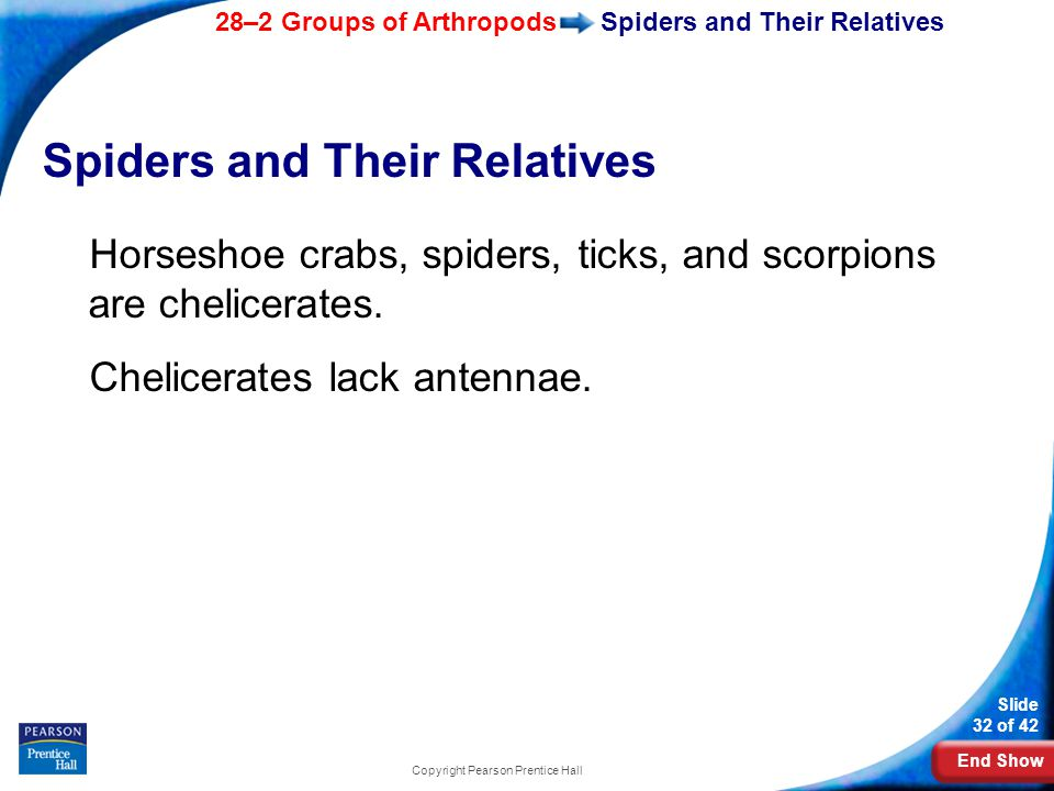 End Show 28–2 Groups of Arthropods Slide 32 of 42 Copyright Pearson Prentice Hall Spiders and Their Relatives Horseshoe crabs, spiders, ticks, and scorpions are chelicerates.