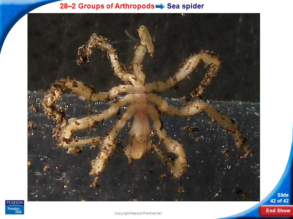 End Show 28–2 Groups of Arthropods Slide 42 of 42 Copyright Pearson Prentice Hall Sea spider