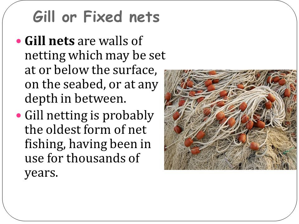 Gill or Fixed nets Gill nets are walls of netting which may be set at or below the surface, on the seabed, or at any depth in between. Gill netting is