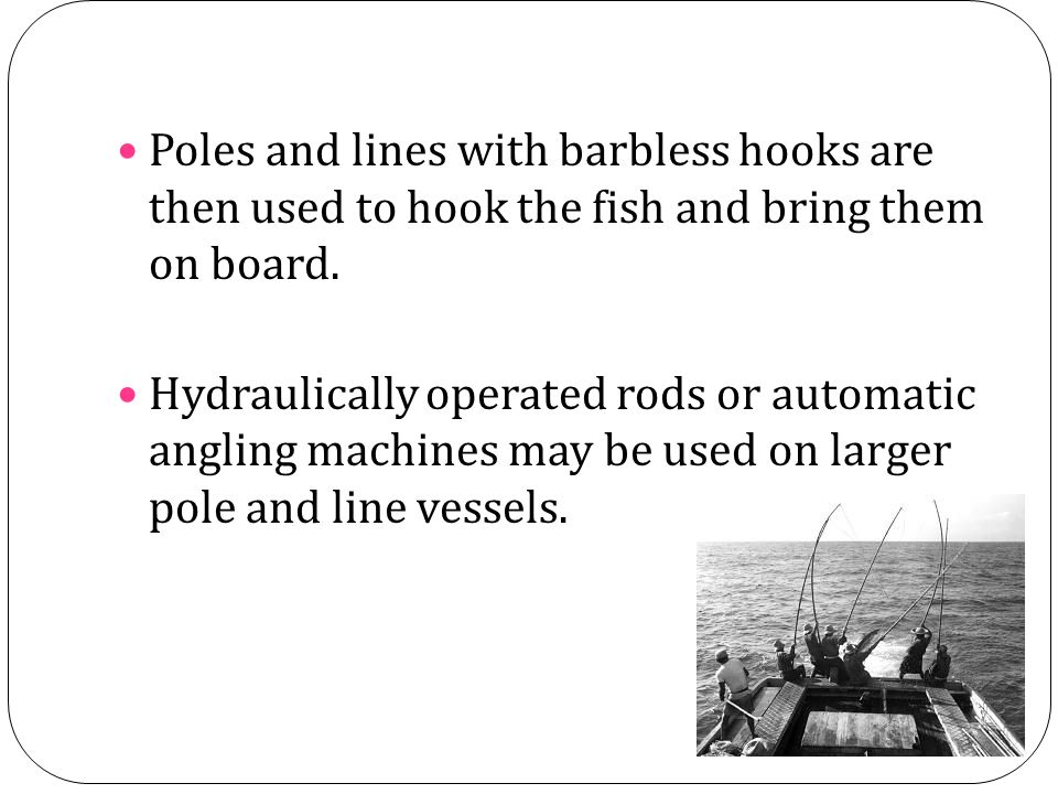 Poles and lines with barbless hooks are then used to hook the fish and bring them on board. Hydraulically operated rods or automatic angling machines