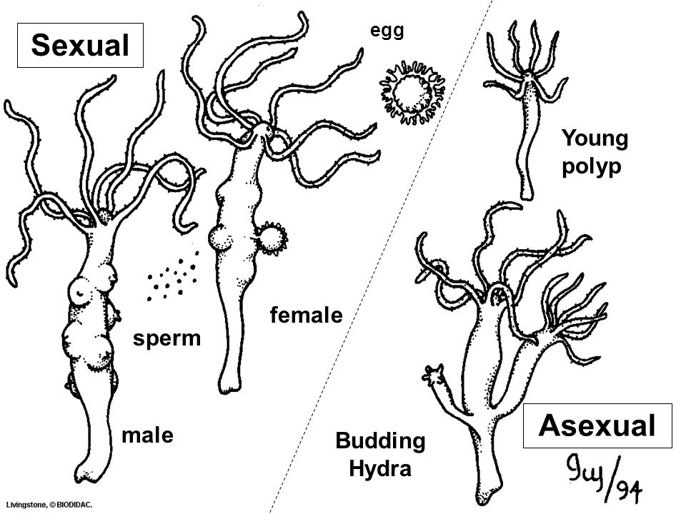 sperm Young polyp male female Budding Hydra Asexual Sexual egg