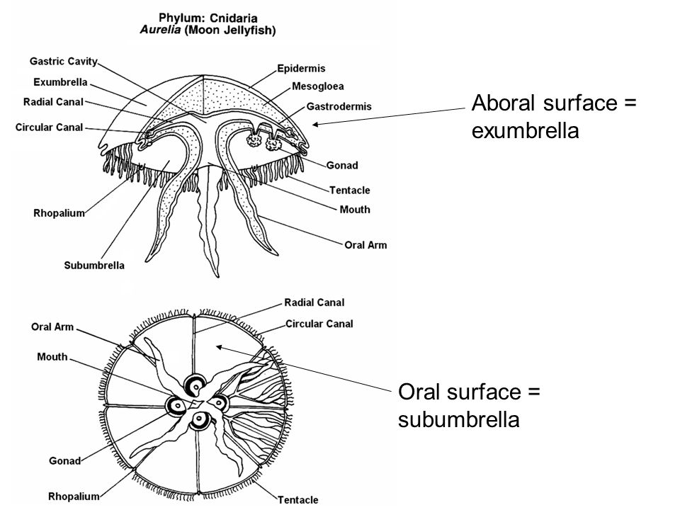 Aboral surface = exumbrella Oral surface = subumbrella