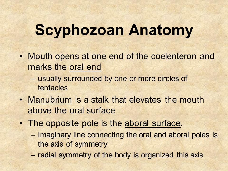 Scyphozoan Anatomy Mouth opens at one end of the coelenteron and marks the oral end –usually surrounded by one or more circles of tentacles Manubrium is a stalk that elevates the mouth above the oral surface The opposite pole is the aboral surface.