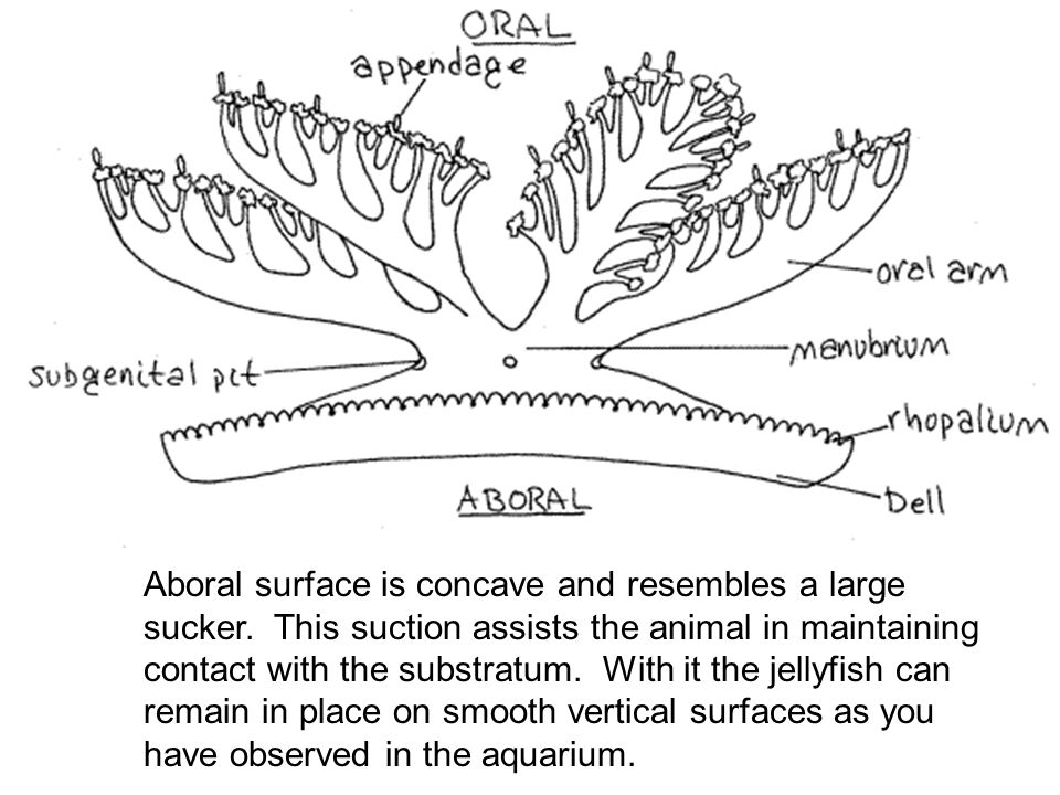 Aboral surface is concave and resembles a large sucker. This suction assists the animal in maintaining contact with the substratum. With it the jellyf