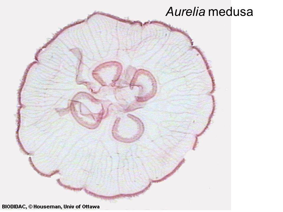 Aurelia medusa