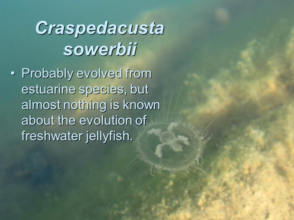 Craspedacusta sowerbii Probably evolved from estuarine species, but almost nothing is known about the evolution of freshwater jellyfish.Probably evolved from estuarine species, but almost nothing is known about the evolution of freshwater jellyfish.