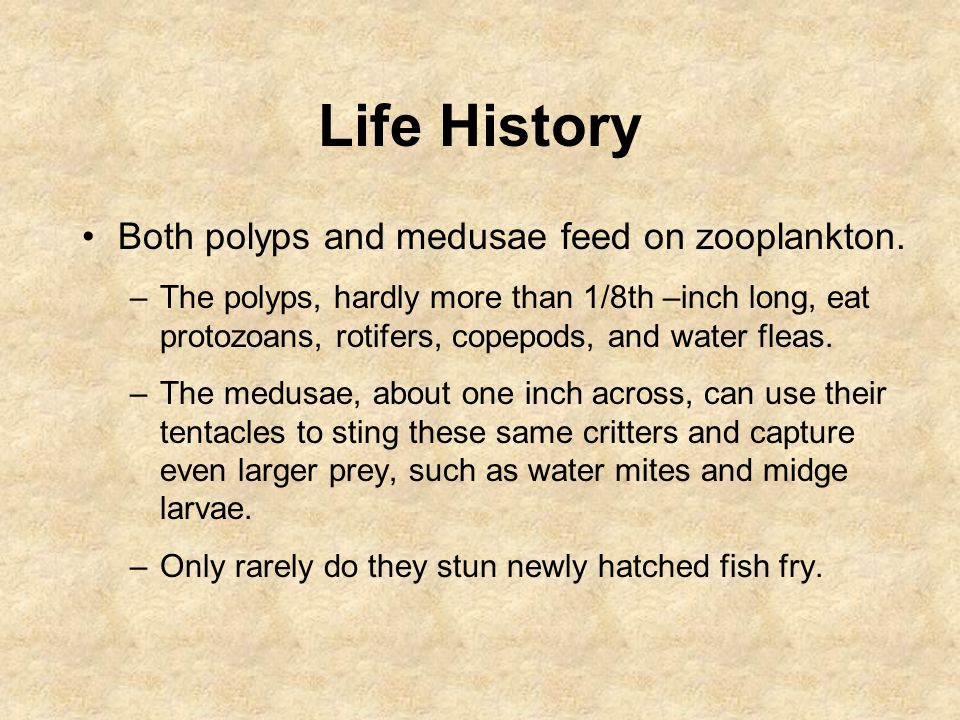 Life History Both polyps and medusae feed on zooplankton. –The polyps, hardly more than 1/8th –inch long, eat protozoans, rotifers, copepods, and wate
