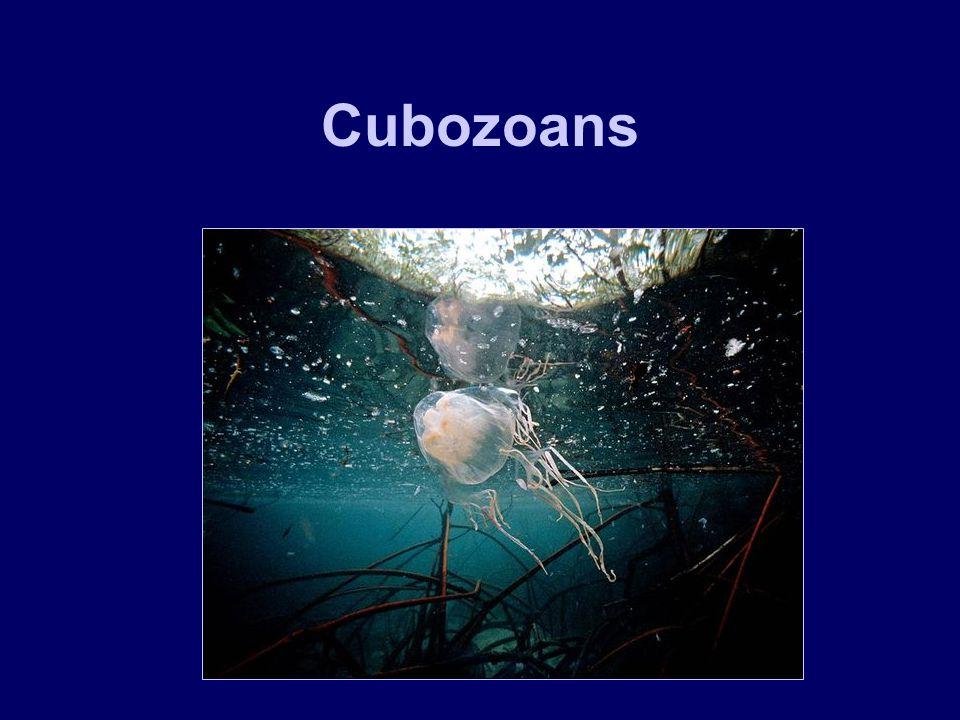 Cubozoans