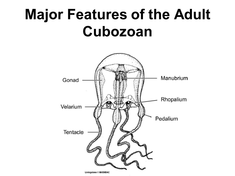 Major Features of the Adult Cubozoan