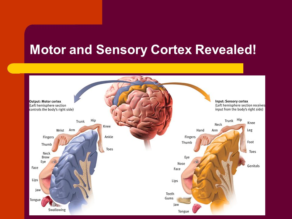 Motor and Sensory Cortex Revealed!