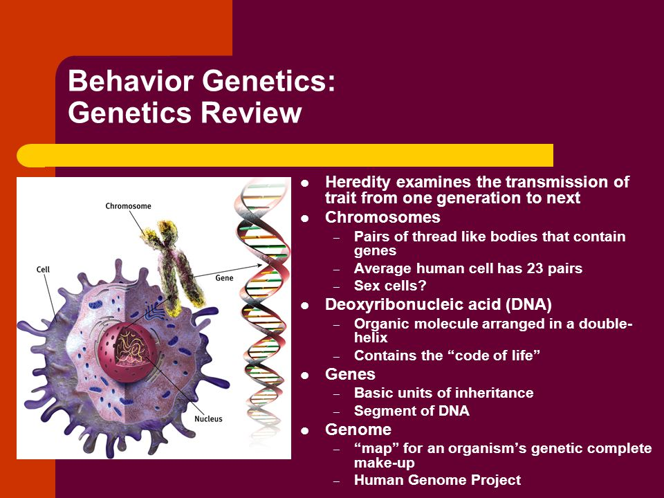Behavior Genetics: Genetics Review Heredity examines the transmission of trait from one generation to next Chromosomes – Pairs of thread like bodies that contain genes – Average human cell has 23 pairs – Sex cells.