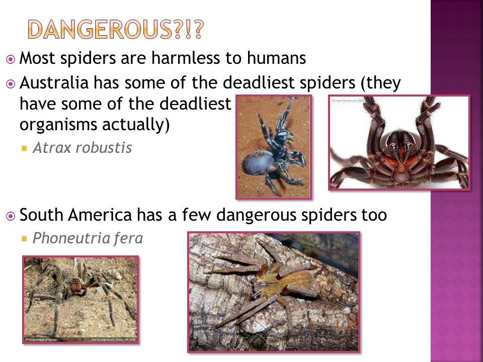  Most spiders are harmless to humans  Australia has some of the deadliest spiders (they have some of the deadliest organisms actually)  Atrax robus