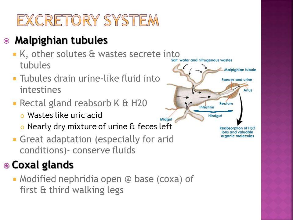 Malpighian tubules  Malpighian tubules  K, other solutes & wastes secrete into tubules  Tubules drain urine-like fluid into intestines  Rectal gla