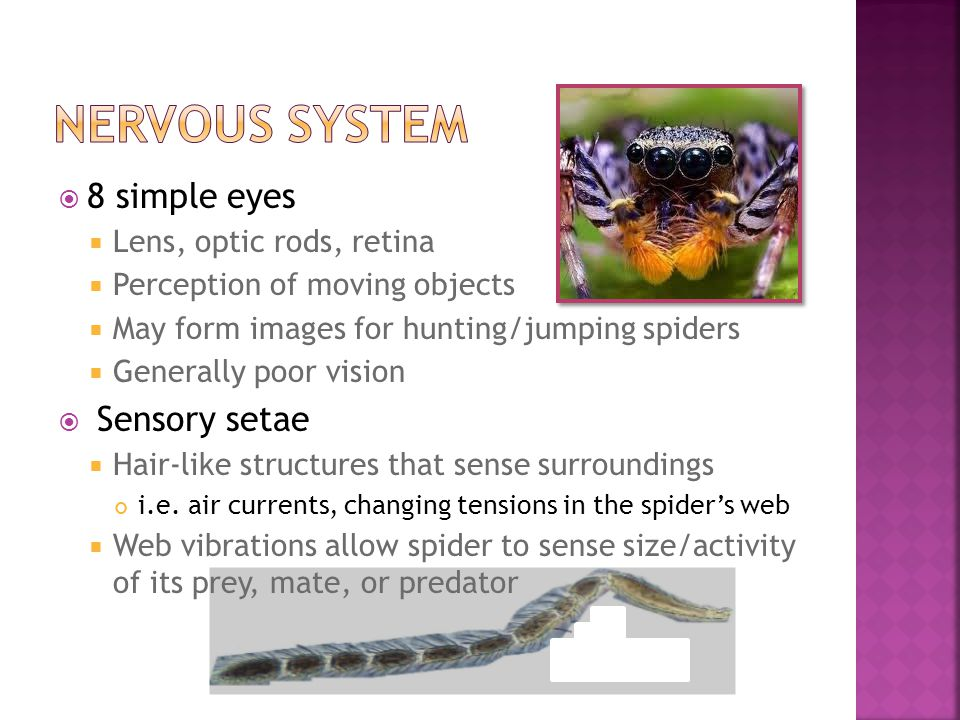  8 simple eyes  Lens, optic rods, retina  Perception of moving objects  May form images for hunting/jumping spiders  Generally poor vision  Sens