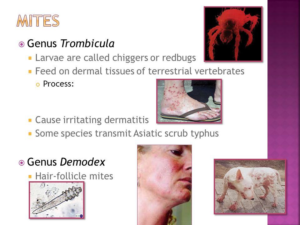  Genus Trombicula  Larvae are called chiggers or redbugs  Feed on dermal tissues of terrestrial vertebrates Process:  Cause irritating dermatitis